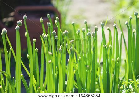 Green spring sprouts of onion in growth at vegetable garden