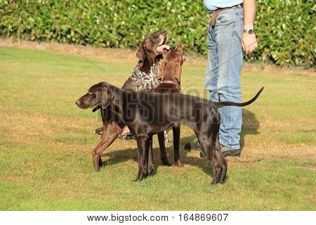 Man playing with a group of German Shorthaired Pointers in a field
