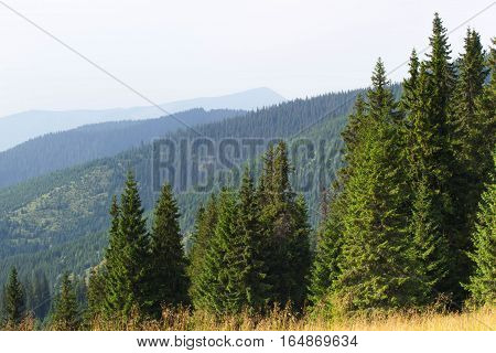 Spruce fir forest in the Ukrainian Carpathians. Sustainable clear ecosystem