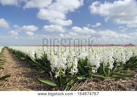 white hyacints growing on a field Dutch flower industry