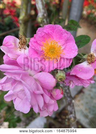 Bunga ros jambak di Cameron Highland, Perak