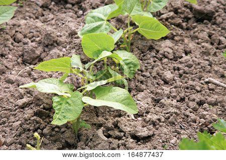 Young haricot, bean in vegetable intercropping cultivation. Eco-friendly backyard garden, vegetable garden.