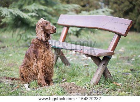 Beautiful Irish Setter dog waiting near a bench