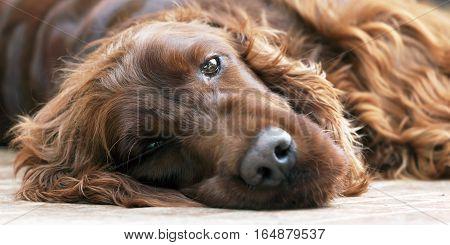 Portrait banner of a beautiful lazy Irish Setter dog