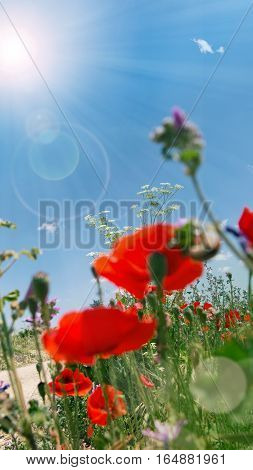 Poppies on the way at bright sunshine and bokeh in spring