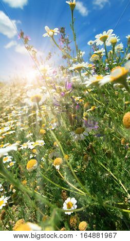 Flower meadow with chamomiles and bright sun in spring
