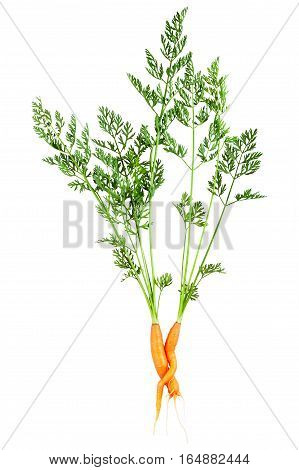 Embrace of love two carrots isolated on white background love concept