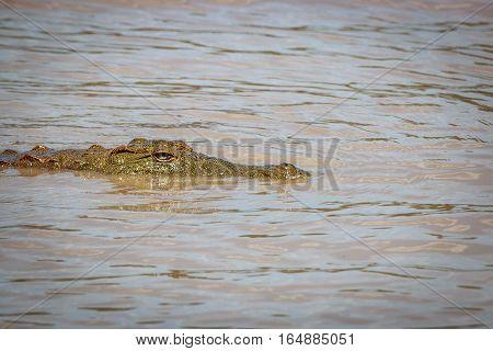 Nile Crocodile In The Water.