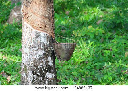 rubber tree in garden nature thailand .