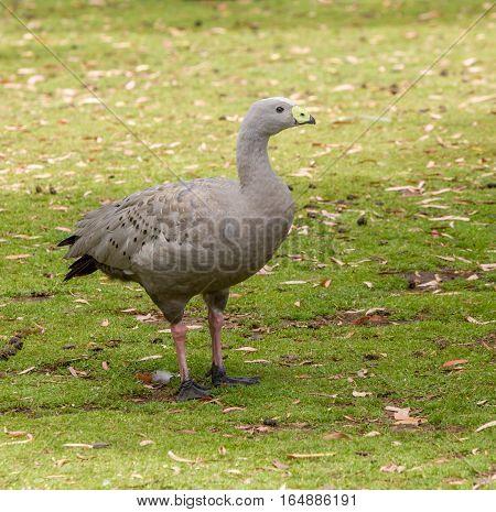 Rare Cape Barren goose in grass paddock