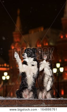 Border Collie dog illuminated light on the moscow