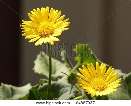 Two bright yellow Little Leo leopards bane flowers blooming against a dark background.