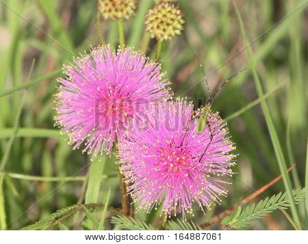 Two bright pink, fuzzy catclaw blooms with yellow tips, growing among green grass in a meadow in the country.