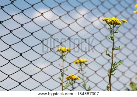 Tansy flowers on the background of the fence from the grid and blue sky.