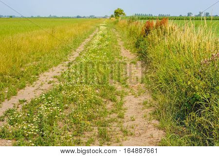 Sandy country path with wheel tracks on a sunny day in the Dutch summer season. In the roadside wild herbs and plants grow and flourish. Its smells natural and spicy.