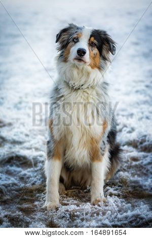 Australian Shepherd sitting in the snow and looking with slightly sloping head to the photographer.