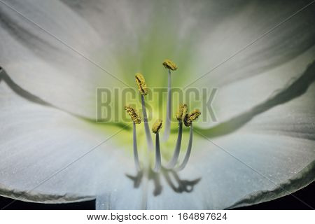 Closeup of the stamens from a white Amaryllis flower.