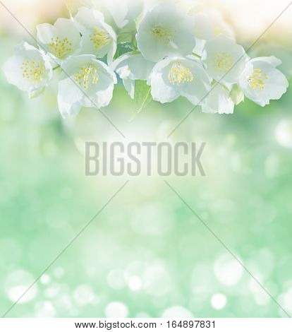 Spring gentle background with jasmine flowers for design