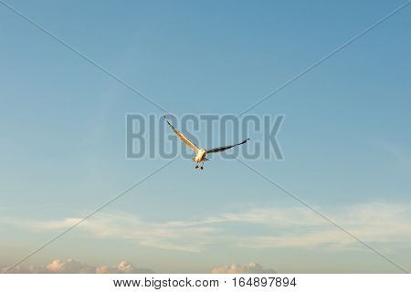 Seagull expand wings in the blue sky