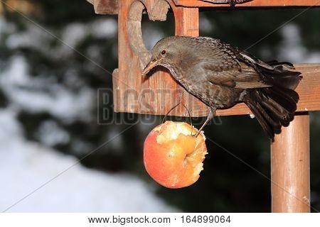 The black bird with a yellow beak on snow