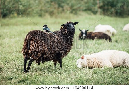 Black and white sheeps with a magpie riding on the back of a black sheep.