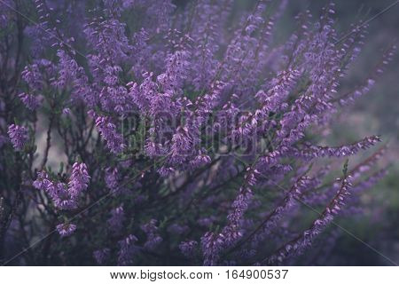 Shrub of Pink or mauve colored heather in morning fog. Scots heather Calluna Vulgaris in purple haze.