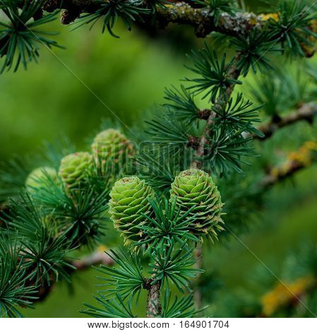 Two Young Sprouts Green Fir Cones into Green Needles on Blurred Fir Cones and Branches background Outdoors. Focus Foreground