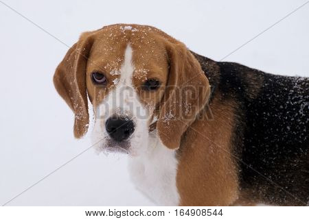 dog portrait Beagle in the winter on a walk on a white snow background