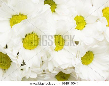 beautiful background of flowers Chrysanthemum white with yellow center