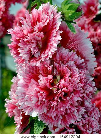 Beautiful  pink and white hollyhock hybrid flowers
