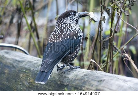Spotted Nutcracker ( Nucifraga caryocatactes ) sitting on the perch