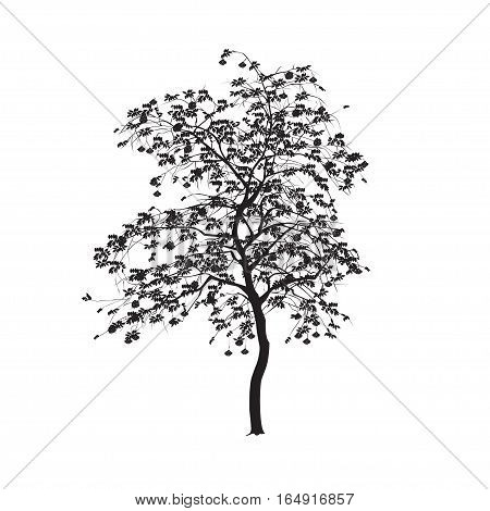 Mountain ash - a tree silhouette with leaves and berries on a white background