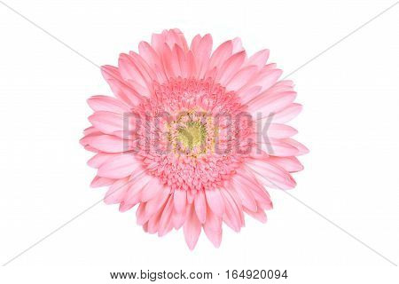 Isolated Pink daisy flower over white background