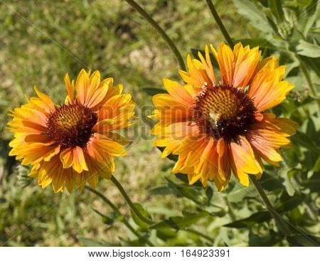 Two flowers rudbeckia of yellow colour in garden.