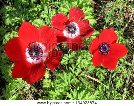 Red Crown Anemone flowers in forest park in Shoham Israel February 20 2007
