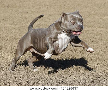 Dog jumping through the air playing at the park