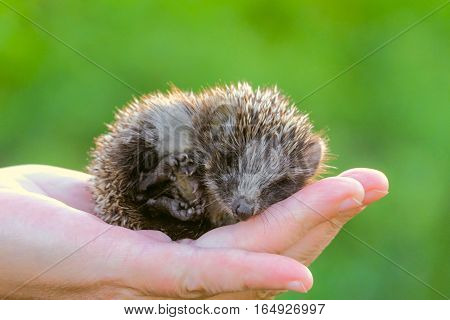 Hedgehog on hand. Small is a young hedgehog curled up on the palm.