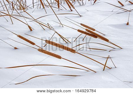 Narrow-leaved cattail (lat. Typha angustifolia) is a perennial aquatic and marsh herbaceous plant. The plant on the Bank of winter river