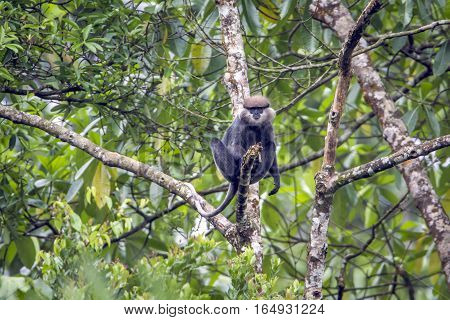 Purple-faced langur in Sinharaja forest reserve, Sri Lanka ; Specie rachypithecus vetulus family of Cercopithecidae