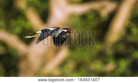 Red-wattled lapwing in Bundala national park, Sri Lanka ; specie Vanellus indicus family of Charadriidae