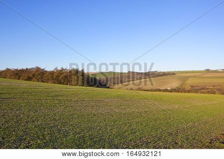 Larch Woodland And Wheat