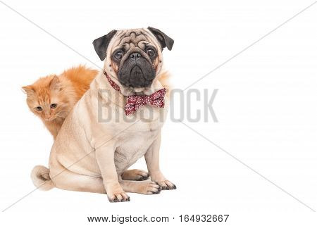 Pug dog sitting in a red bow tie and rear red cat isolated on white background. Picture for printed materials and backgrounds.
