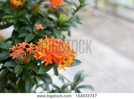close up orange Ixora flower in garden