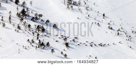 Herb of Northern Deers run in winter forest-tundra aerial view