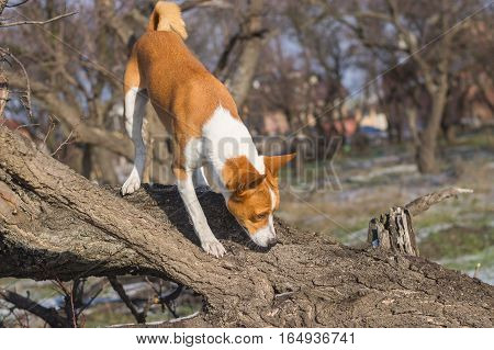 Basenji dog sniffing around its territory on a nearest tree at fall season