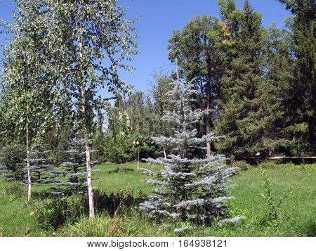 blue fur-trees of a birch and pine
