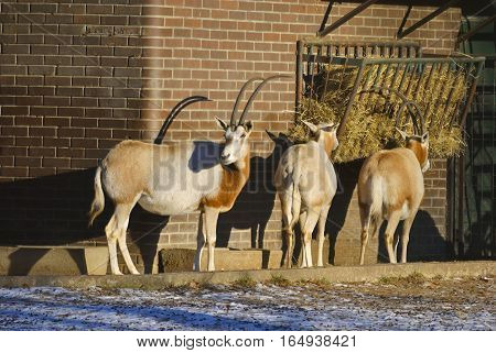 Scimitar-horned oryx (Oryx dammah) with brick wall on the background. In Zagreb Zoo, Croatia.