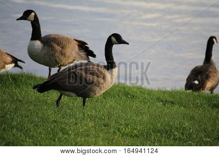Canada Goose (branta Canadensis) Next To The Water
