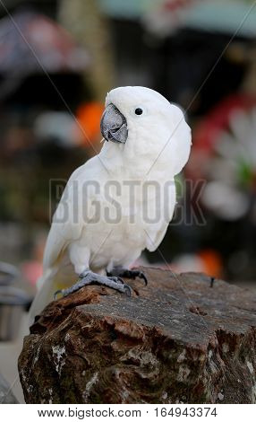 Photo funny portrait of a beautiful white cockatoo