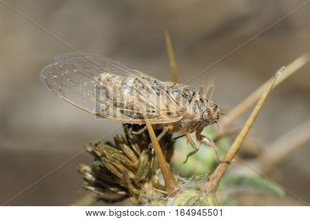 Closeup of the nature of Israel - cicada on the thorn